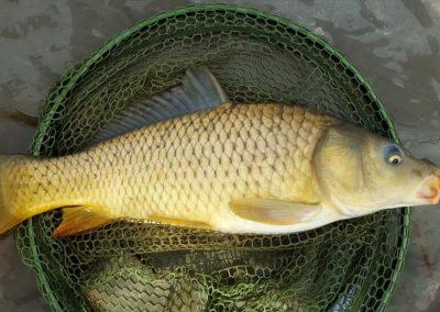 Quality carp